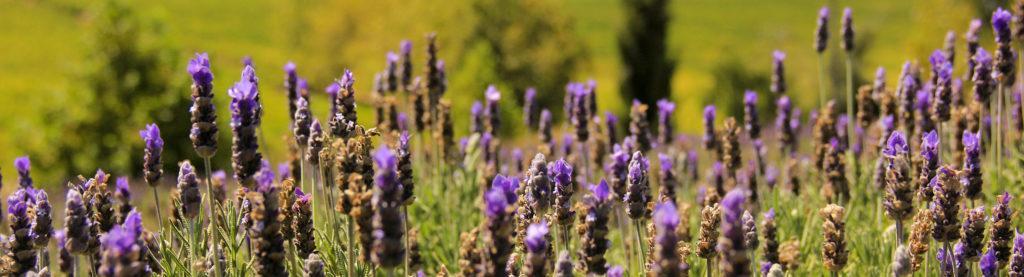 A close-up of lavendar flowers on a winefarm in Stellenbosch, South Africa