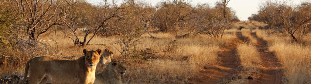 Three female lion on the side of a straight dirt road, one looking to the camera, in Kruger Park