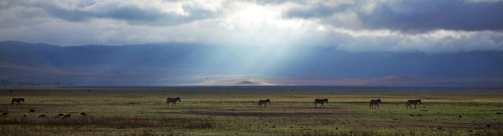 Zebras crossing the savannah, while the sun rays break through the clouds