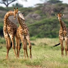 Three giraffes in the grassland of Kruger National Park in South Africa