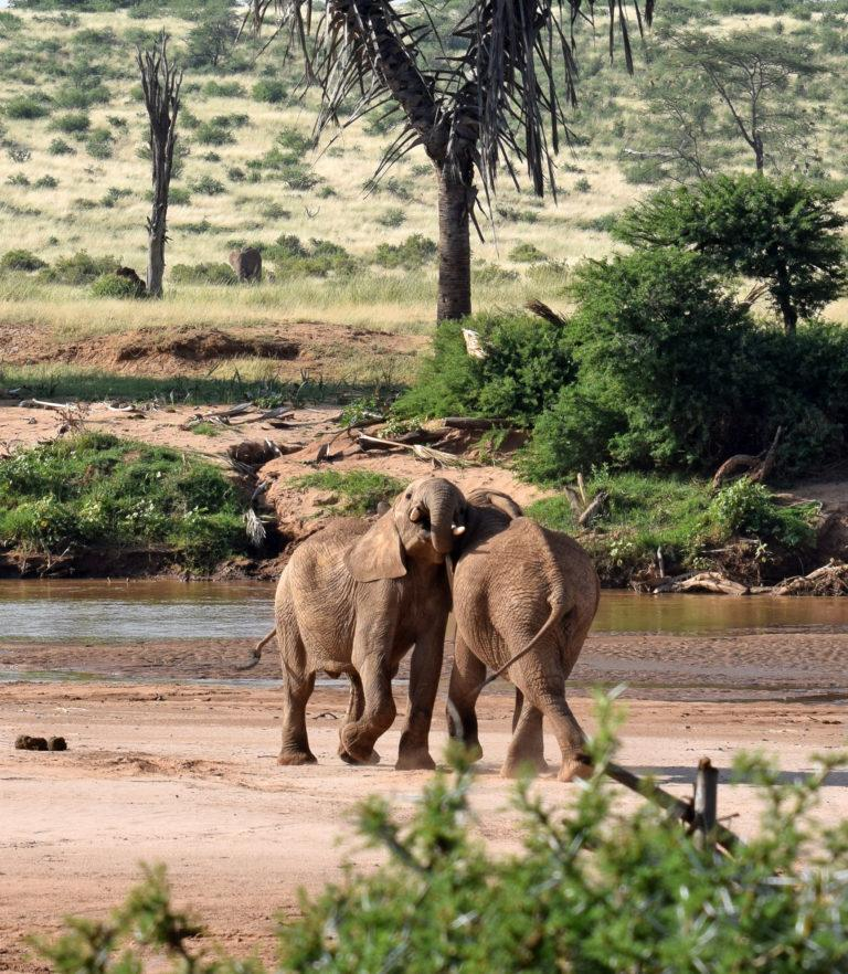 Two elephants close to each other at a river in Samburu National Reserve, Kenya